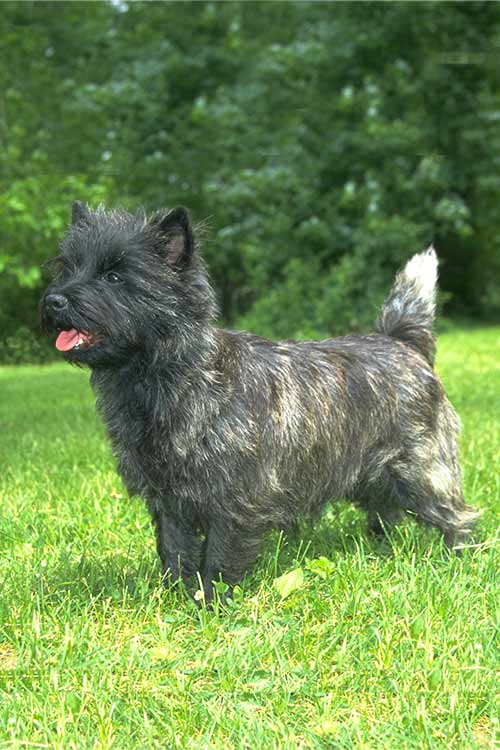 Cairland Terrier