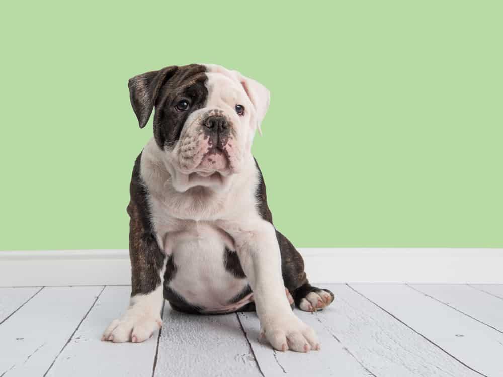 Miniature Bulldog