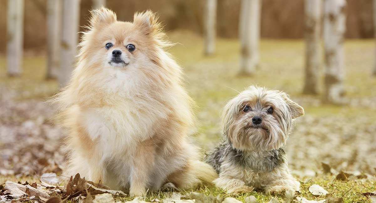 Pom-Terrier