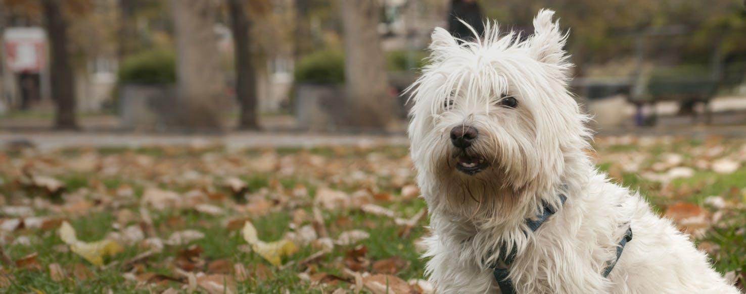 Scoland Terrier