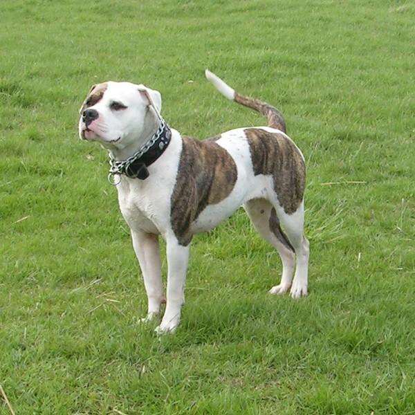 Victorian Bulldogge