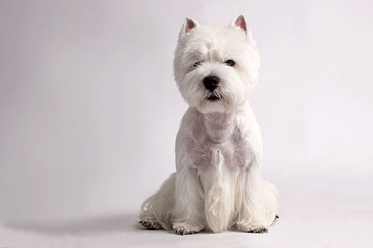 Westshire Terrier